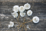 dandelion clock bunch on old wooden background