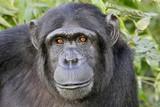 Pan troglodytes / Chimpanzé - 136664008