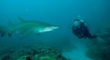 Scuba diver swimming close to shark - 136673428