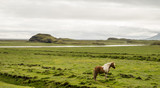 Icelandic horse in natural environment