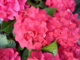 Bunch of vibrant fuchsia pink blooming Hydrangea flowers