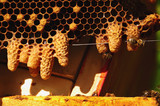 Waxen cottage for growing of chapter of bee family. Queen bees - 136700420