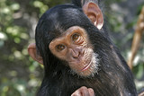 Pan troglodytes / Chimpanzé