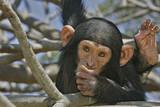 Pan troglodytes / Chimpanzé - 136710025
