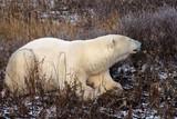 Eisbär-Hudson Bay Kanada