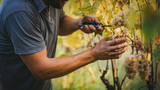 Grape harvest in the Tuscan hills. - 136730259