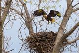 Bald Eagle landing on nest