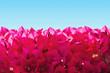 Lesser bougainvillea on sky background