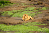 A lion laying at sunset on a plain of the Serengeti National Park, Tanzania, Africa. Panthera Leo