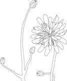 Realistic Wildflower line drawing botanical illustration of flower in black and white