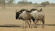 Herd of blue wildebeest (Connochaetes taurinus) walking in dust, Kalahari desert, South Africa
