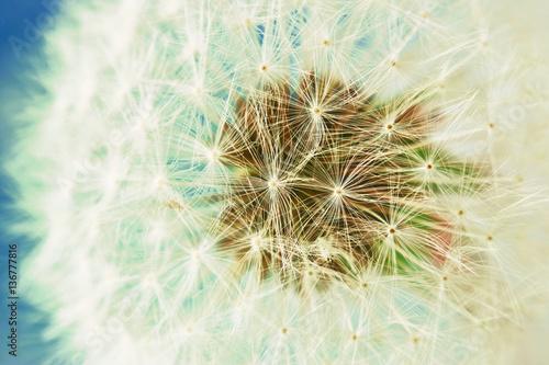 Pusteblume blauer Hintergrund - Nahaufnahme