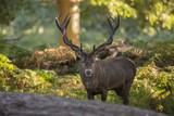 Majestic powerful red deer stag Cervus Elaphus in forest landsca