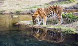 Adult male Bengal tiger (Panthera tigris tigris)