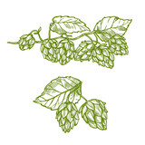 Hops plant sketch for food and drinks design - 136887449