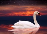 White swan swimming in a pond at sunset.