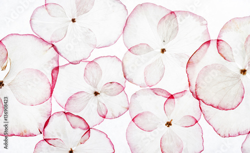 hydrangea petals isolated - 136908423