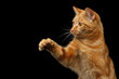 Portrait of Ginger Hunter cat with stretched paw on Isolated Black background, front view