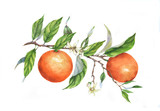 Fototapety Hand drawn watercolor illustration of oranges on branch on the white background