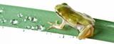 Little frog over rush