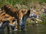 tiger am wasser