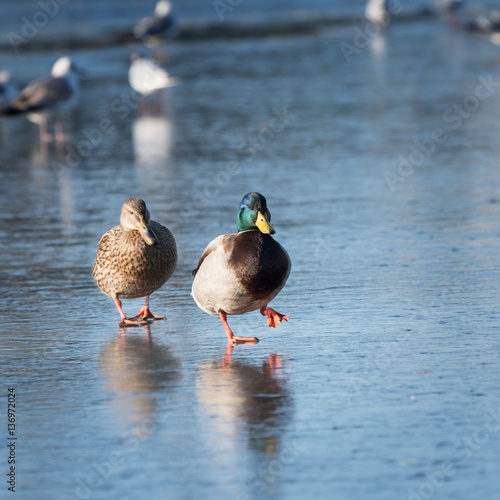 Poster Two ducks walking on the ice