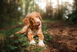smiling puppy Nova Scotia duck tolling Retriever