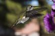 Annas Hummingbird (Calypte anna) Feeding in Flight