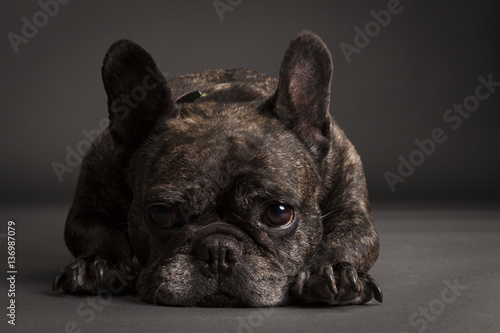Foto op Canvas Franse bulldog French Bulldog