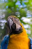 Big, beautiful, fun, blue and yellow parrot. Portrait