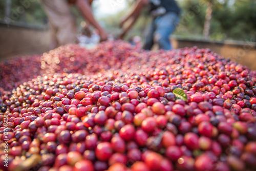 Tuinposter Koffiebonen Granos de café
