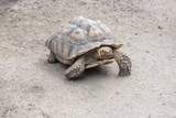 Giant Aldabra tortoise (Aldabrachelys gigantea)