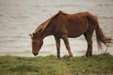 Assateague Island wild pony in Maryland