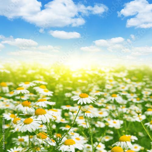 Daisy field, blue sky and sun. © Elena Volkova