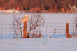 Snowy owl perching on a post in rural Ottawa in winter