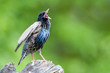 Common starling perching on a tree stump and singing