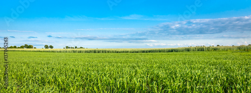 Foto Murales Landscape of cereal field in spring. Green crops and blue sky, panoramic view