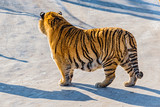 Tiger on the road.