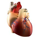 Anatomy of Human Heart Soft Concept 3D illustration