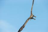 White-tailed Eagle Aerobatics.