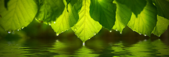 Panoramic view of green leafs with raindrop. Reflecting in water