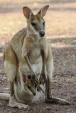 Agile wallaby mother with baby in its pouch, Northern Territory, Australia