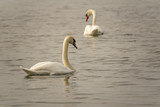 Two white swans swimming in lake. Beautiful nature scene with wildlife.