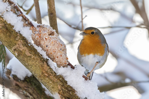 Poster European robin redbreast bird eating homemade bird feeder, coconut fat cookie wi