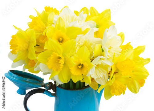 Fresh spring bright yellow daffodils in blue pot close up isolated on white background