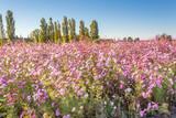 champ de cosmos en Provence