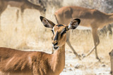 Portrait of a female black-faced impala antelope. - 137069293