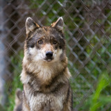 View wolf in captivity behind mesh