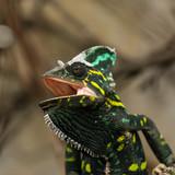 Chameleon bred in a home terrarium