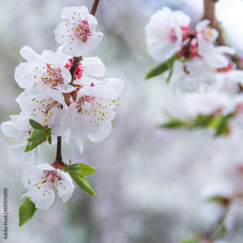 spring flowers  apricot on branches  apricot © lms_lms